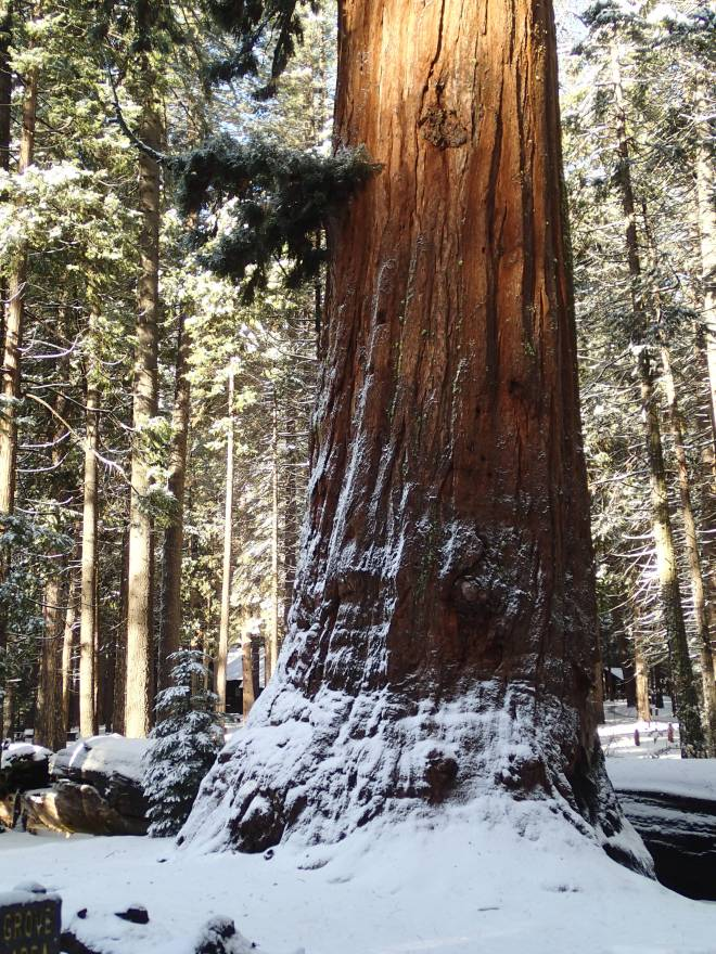 Giant Sequoia at Calaveras Big Trees State Park